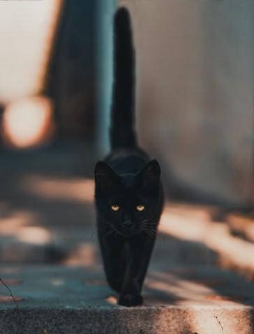 Black Cat. Original photo by David Bartus.
